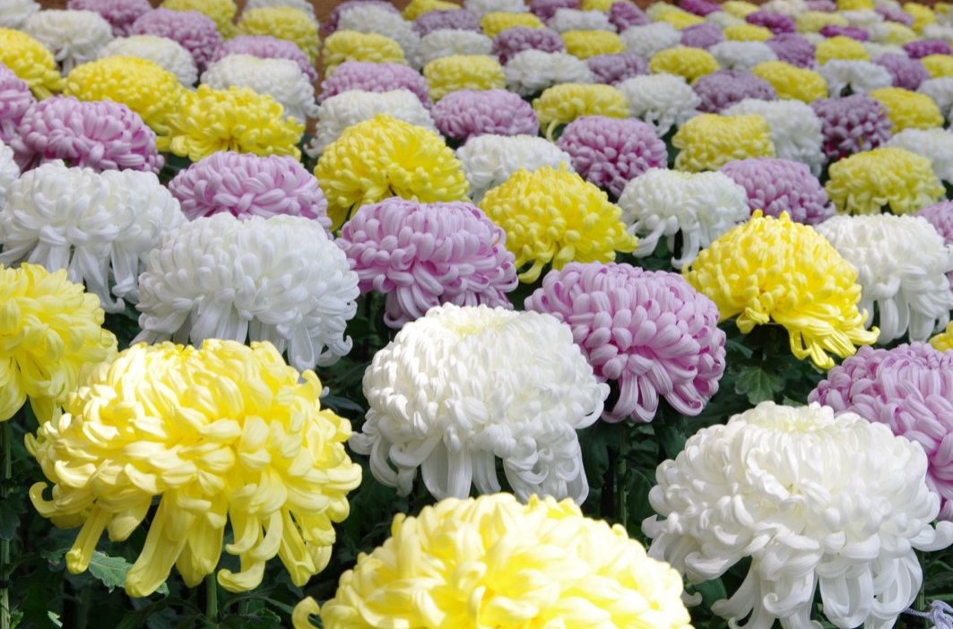 news-chrysanthemum-festival-01