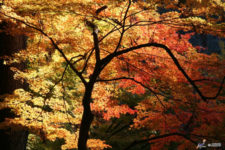 news-leaves-changing-color-korankei-02