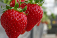 news-strawberry-farm-01
