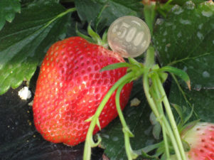 strawberry-in-japan-06