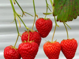 strawberry-in-japan-07