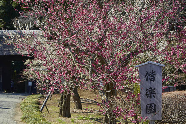 plum-blossoms-02