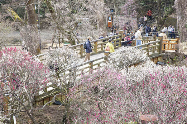 plum-blossoms-04