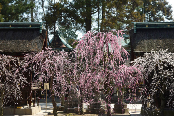 plum-blossoms-07