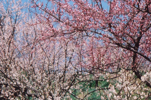 plum-blossoms-08