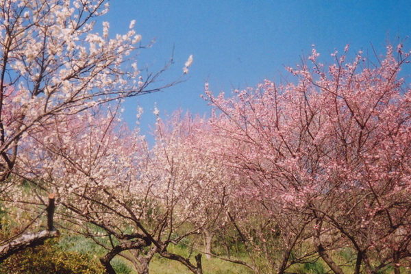 plum-blossoms-09