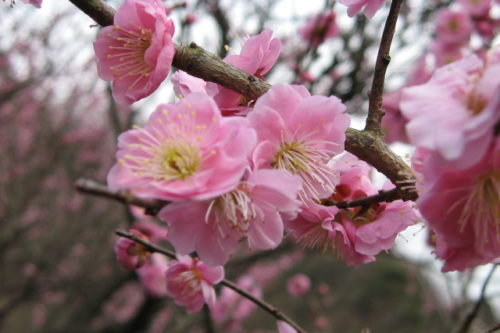 plum_blossoms_spots-05