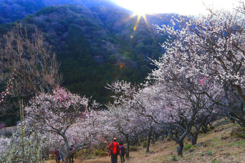 plum_blossoms_spots-06
