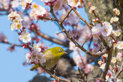 plum_blossoms_spots-08