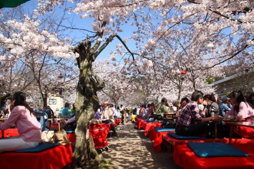 """KYOTO - APRIL 4: Japanese people gather on April 4th, 2010 in Maruyama Park in Kyoto, Japan to celebrate """"hanami"""", the Cherry blossom celebration. This park is the most famous hanami place of Japan."""