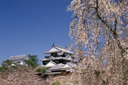 Cherry Tree And The Castle Tower