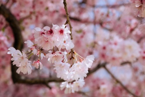 Cherry blossom of Edohigan in full bloom in Japan on one day of spring in 2018.