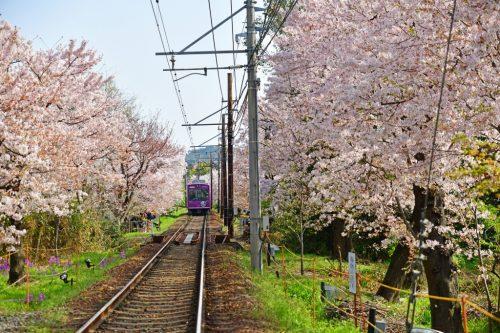 Kyoto, Japan / April 1, 2018 : The Keifuku Randen Tram Line with Cherry blossom