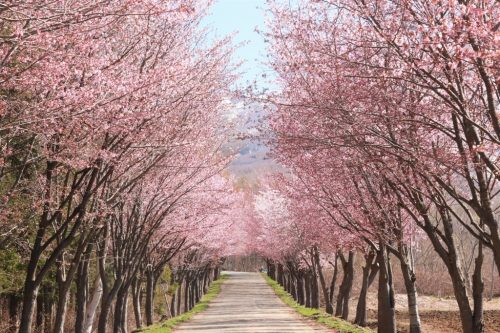 The World's Longest Cherry-Lined Road