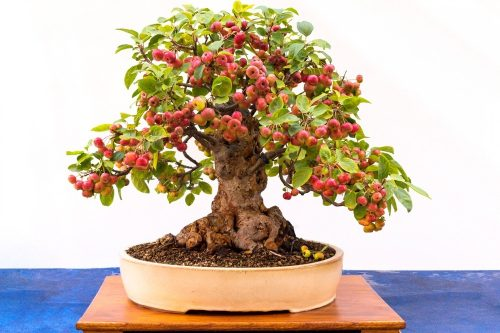Small bonsai tree taken from an apple tree with white background.