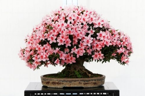 Beautiful flowering japanese bonsai in a low pot sitting on a table in front of a white background