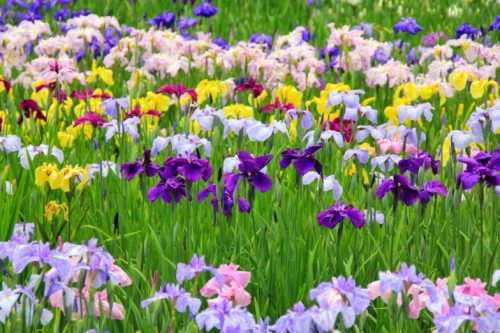 The Japanese iris which was made a kind in the about 16th century called Hanashobu