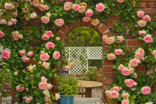 Fukuoka,Kyushu,Japan. - May 16th,2015 : Beautiful Full blooming light pink Eden Climbing Rose (Rosa Eden ,Pierre de Ronsard, Meiviolin) is decorated Uminonakamichi Park ,on a red brick arched windows